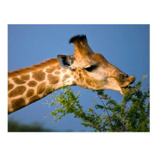 Giraffe (Giraffe Camelopardalis) Feeding Postcard