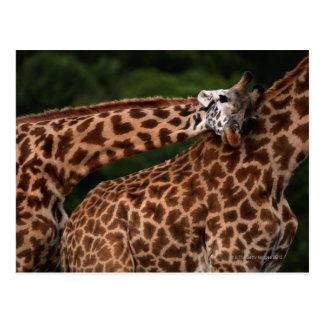 Giraffe (Giraffe camelopardalis tippleskirchi) Postcard