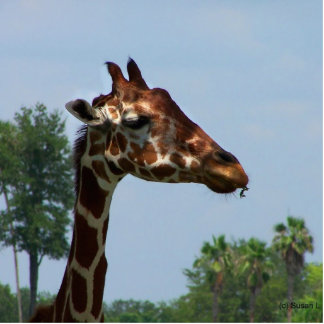 Giraffe head against blue sky photograph picture photo cut outs