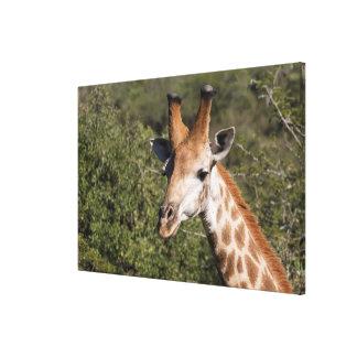 Giraffe Head Detail Canvas Print