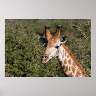 Giraffe Head Detail Poster