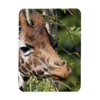 Giraffe Images  Premium Magnet Flexible Magnets