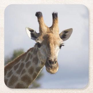 Giraffe in Botswana, Africa, Coaster