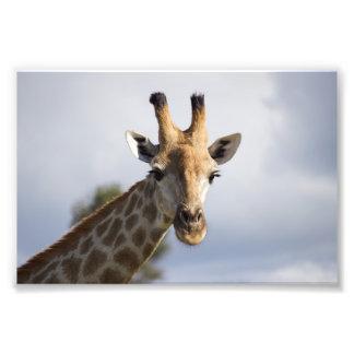 Giraffe in Botswana, Africa, Photo Print