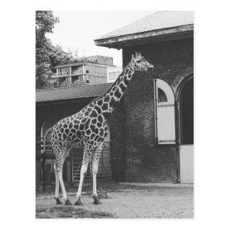 Giraffe in London original postcard