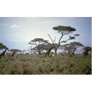 Giraffe, Kenya Standing Photo Sculpture