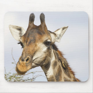 Giraffe, Kruger National Park, South Africa Mouse Pad
