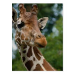 Giraffe Lovers Art Gifts Post Cards