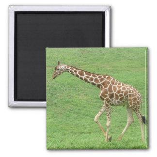 giraffe square magnet