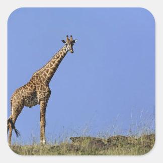 Giraffe, on ridge against blue sky, Giraffa Square Sticker