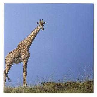 Giraffe, on ridge against blue sky, Giraffa Tile