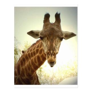 Giraffe orig -zaz postcard