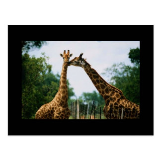 Giraffe Photograph Postcard