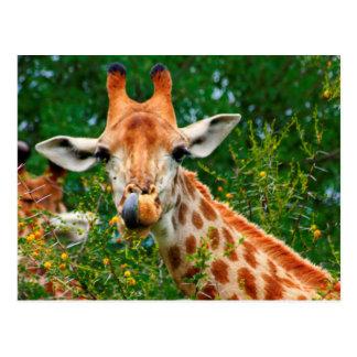 Giraffe Portrait, Kruger National Park Postcard