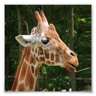 Giraffe Right Face Photo Print