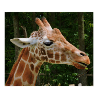 Giraffe Right Face Poster