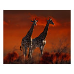 Giraffe series from South African wild life Poster