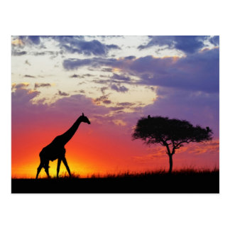 Giraffe silhouetted at sunrise, Giraffa Postcard
