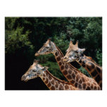 Giraffe Trio Print