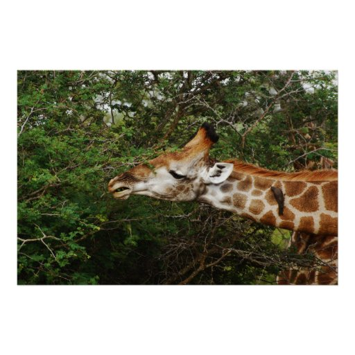 Giraffe wall hangings & pictures poster