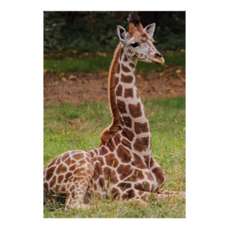 Giraffe Wildlife Animal Photo Poster
