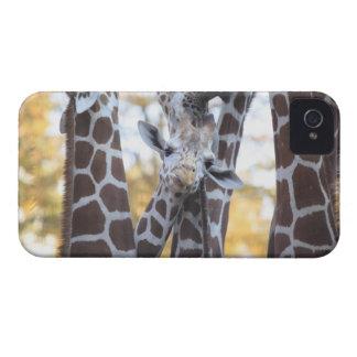 Giraffes at Tama Zoo, Tama Zoo, Tokyo iPhone 4 Case-Mate Cases