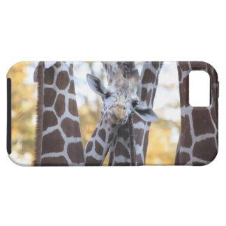 Giraffes at Tama Zoo, Tama Zoo, Tokyo iPhone 5 Cover
