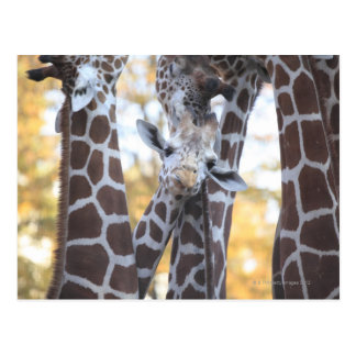 Giraffes at Tama Zoo, Tama Zoo, Tokyo Postcard