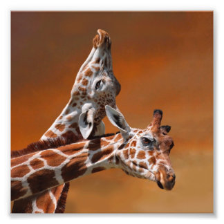 Giraffes couple in love photo