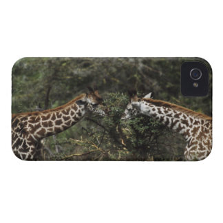 Giraffes Feeding On Acacia Branch, Africa Case-Mate iPhone 4 Case