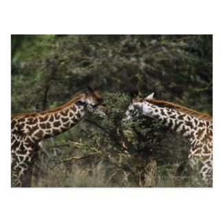 Giraffes Feeding On Acacia Branch, Africa Postcard