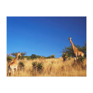 Giraffes (Giraffa Camelopardalis) In Veld Canvas Print
