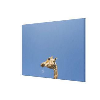 Giraffe's head canvas print