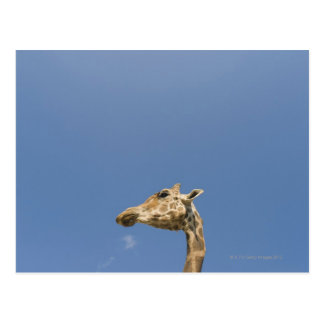 Giraffe's head postcard