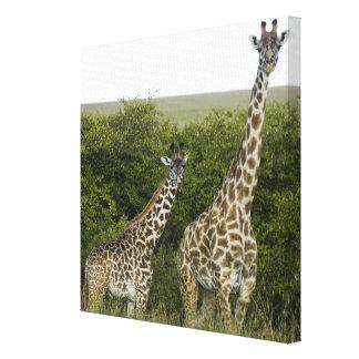 Giraffes in Kenya, Africa Canvas Print