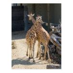 giraffes postcard