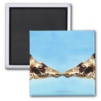 Giraffes touching noses square magnet