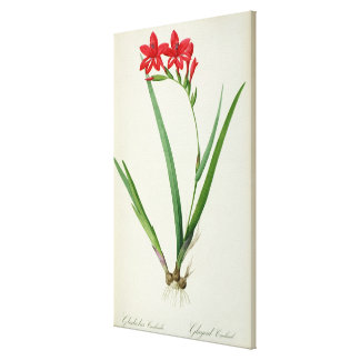 Gladiolus Cardinalis, from `Les Liliacees', 1805 Canvas Print