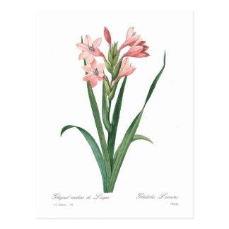 Gladiolus laccatus postcard