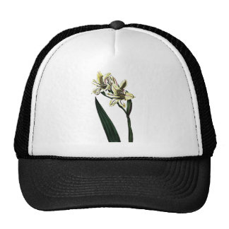 Gladiolus Milleri Cap