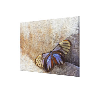 Glass-wing Butterfly Egyptian Goose Feather Canvas Print