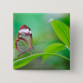 Glass wing butterfly relaxing on fresh green 15 cm square badge