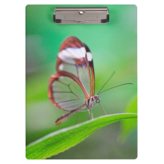 Glass wing butterfly relaxing on fresh green clipboard