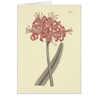 Glaucous Leaved Amaryllis Botanical Illustration Card