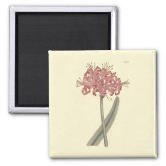 Glaucous Leaved Amaryllis Botanical Illustration Square Magnet