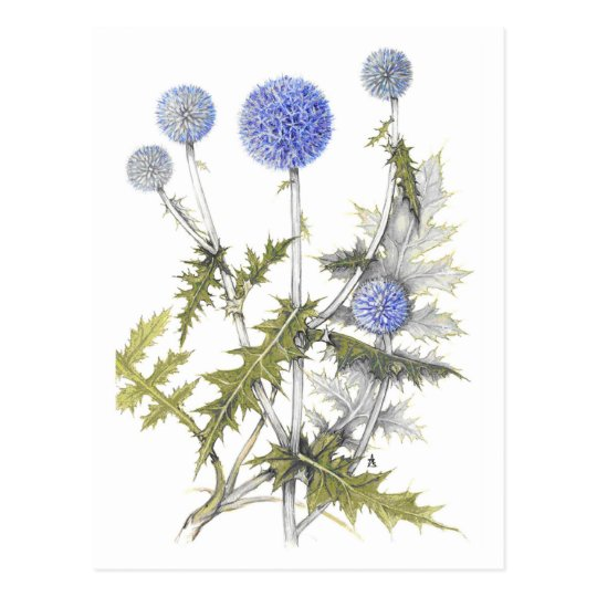 Globe Thistle Collection Postcard