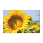 Glorious sunflowers! gallery wrap canvas