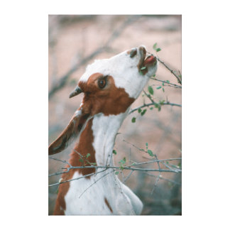 Goat (Capra Aegagrus Hircus) Browsing On Tree Canvas Print