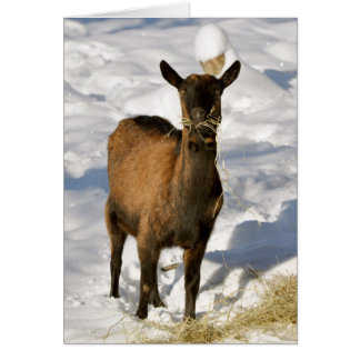 Goat in the snow Xmas card