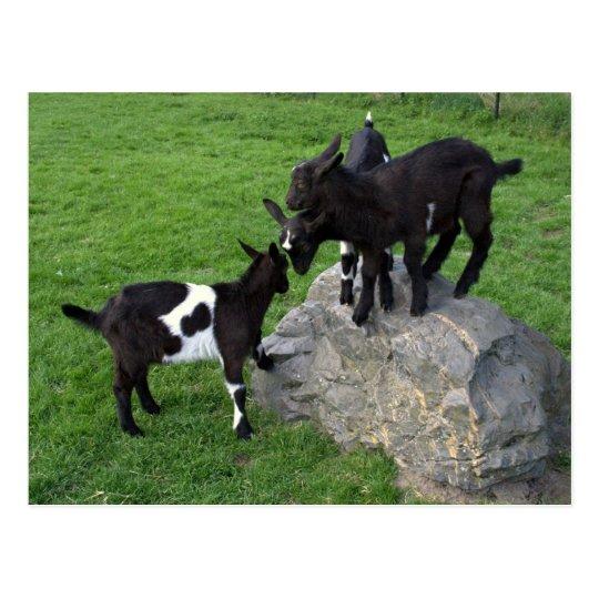 Goat kids postcard